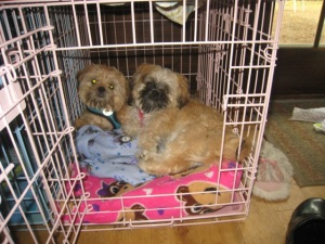 Bonnie Lyn Smith's two 3/4 Shih Tzu, 1/4 Brussels Griffon dogs